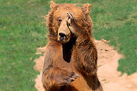 Kodiak Bear aka Alaskan Grizzly Bear and Alaska Brown Bear (Ursus arctos middendorffi) scratching Nose and Eye