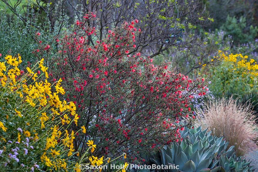 Calliandra californica - Zapotillo or Baja Fairy Duster California native shrub flowering in Leaning Pine Arboretum, California garden