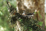 Broad-tailed Hummingbird on its nest in Wyoming.