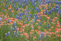 Bluebonnets and Indian Paintbrush, Llano County, TX
