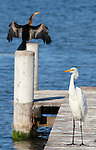 Darter and Great Egret
