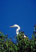 A Great Egret.