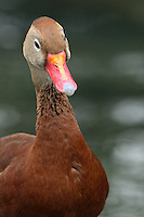 Black-bellied Whistling-Duck occurs in freshwater and estuarine wetlands and marshes along the Texas Gulf Coast and also in southern Arizona.