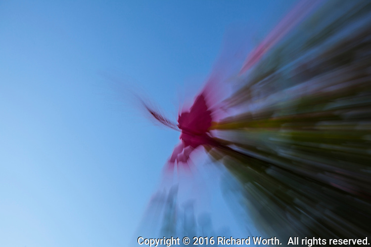 A red hibiscus flower appears to explode in an abstract created through camera technique.