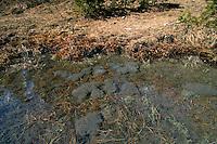 Grasfrosch, Gras-Frosch, Frosch, Laich schwimmt auf der Wasseroberfläche, Laichballen, Eier, Ei, Rana temporaria, Commen Frog, Grass Frog, spawn, frog spawn