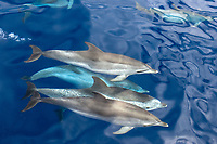 Spotted dolphin (stenella frontalis)A group of bowriding spotted dolphins. Azores.