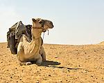 Saqqara, Cairo, Egypt -- A policeman's camel awaits his rider. © Rick Collier / RickCollier.com