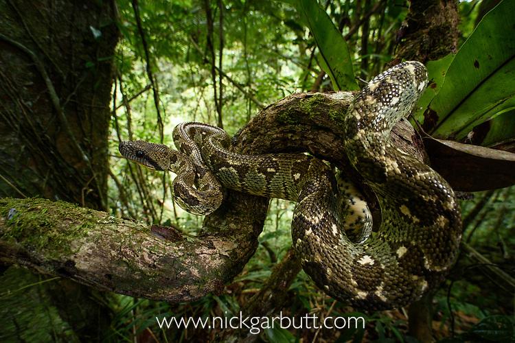 Adult Madagascar tree boa (Sanzinia madagascariensis) coiled in forest understorey. Montane rainforest, Marojejy National Park, north east Madagascar.