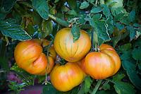 Heirloom organic tomato in vegetable garden