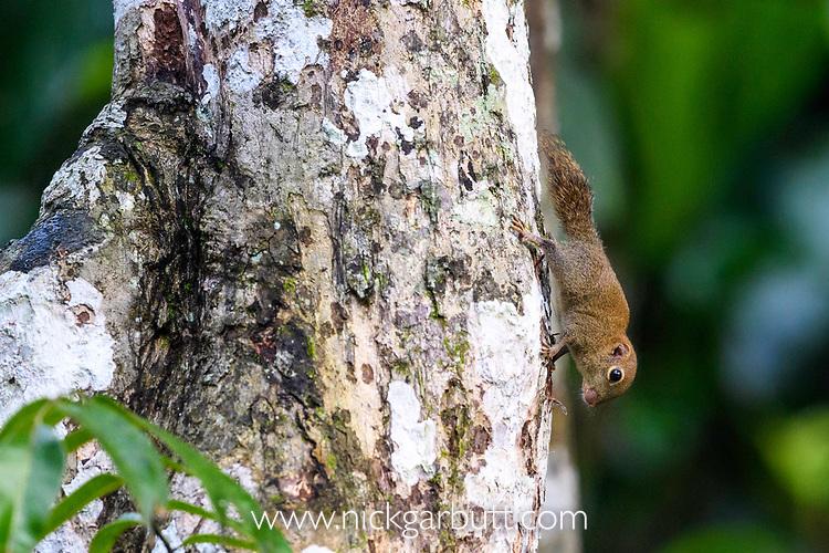 Bornean pygmy squirrel (Exilisciurus exilis) on tree trunk. Kinabatangan River, Sabah, Borneo.