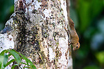 Bornean pygmy squirrel (Exilisciurus exilis) on tree trunk. Kinabatangan River, Sabah, Borneo.