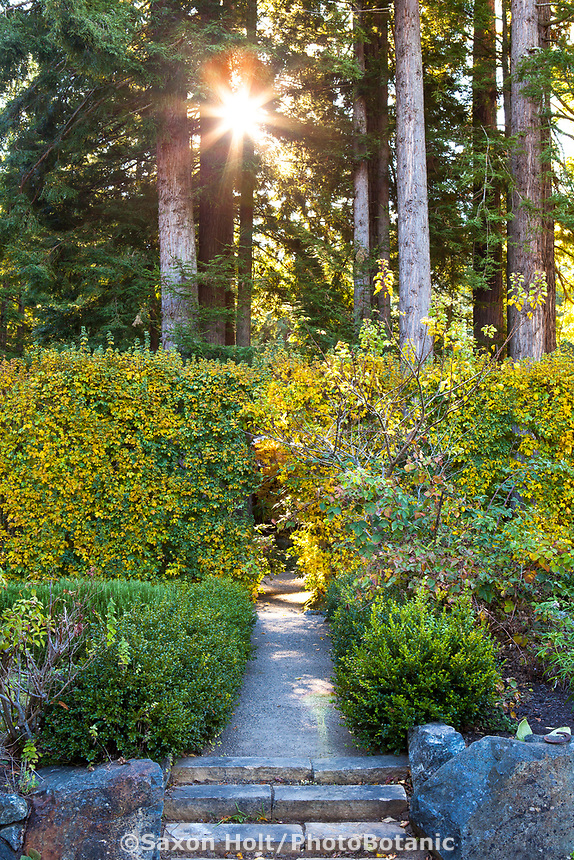 Sunlight through tall redwood trees above gravel path through maple hedge, Acer campstre in fall color, Gary Ratway garden