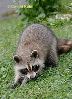 MA25-501z Sick Raccoon having trouble walking, Procyon lotor