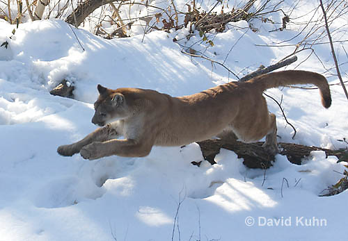 0218-1020  Mountain Lion (Cougar) in Snow Jumping and Chasing Prey, Puma concolor (syn. Felis concolor)  © David Kuhn/Dwight Kuhn Photography.