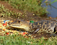 Crocodile having lunch in pond at Raddison hotel
