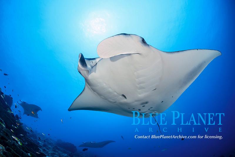 reef manta ray, Mobula alfredi, Manta Point, Gan, Maradhoo, Addu Atoll, Maldives, Laccadive Sea or Lakshadweep Sea, Indian Ocean