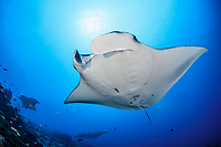 reef manta ray, Manta alfredi, Manta Point, Gan, Maradhoo, Addu Atoll, Maldives, Laccadive Sea or Lakshadweep Sea, Indian Ocean