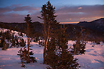 Banner trees lit by sunrise in the krummholz near treeline, winter, Rocky Mountain National Park; blowing snow, February 2008, Colorado, USA, Rocky Mountains.