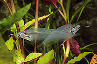 Indischer Glaswels, Kryptopterus vitreolus, Kryptopterus bicirrhis, Kryptopterus minor, Cryptopterichthys bicirrhis, glass catfish, ghost catfish, ghost fish, Le Silure de verre