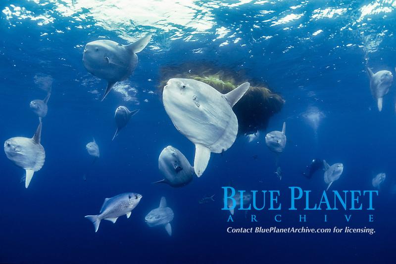ocean sunfish, Mola mola, aggregate near kelp paddy to be cleaned by halfmoons, Medialuna californiensis, open sea, San Diego, California, USA, East Pacific Ocean