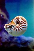 Nautilus macromphallus