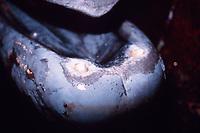 lower jaw and teeth of Baird's beaked whale, Berardius bairdii, Wadaura, Boso Peninsula, Japan