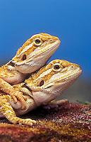 Pogona aka Bearded Dragons (Pogona vitticeps).
