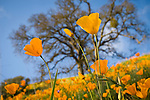 California poppies bloom on the hillside in late winter near the Mokelumne River in the Sierra Foothills as the bare oaks begin to bud, near Jackson, Amador County, Calif.