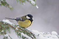 Great Tit, Parus major, female on sprouse branch with snow, Oberaegeri, Switzerland, Dezember 2005