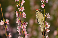 Ladder-backed Woodpecker (Picoides scalaris), adult male perched on blooming Peach tree (Prunus persica), Hill Country, Central Texas, USA