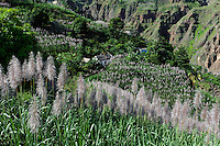 Zuckerrohranbau im Ribeira da Garca, Santo Antao, Kapverden, Afrika