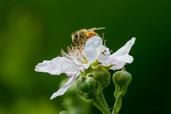 Honeybee on Himalayan blackberry blossom.  Pacific Northwest.  May.