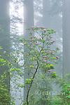 Rhododendron Bloom, Redwoods, Coastal Fog, Damnation Creek, Del Norte Redwoods State Park, Redwood National and State Parks, California
