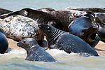 Gray Seals hauled out on the Chatham Bars, Cape Cod.  Close-up of 2 seals climbing out of water onto sand bar.