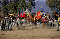 Selcuk, Turkey, 21/01/01..The traditional sport of camel wrestling is popular throughout western Turkey in the winter months; the largest event is the annual festival held in Selcuk on the third weekend of January. Spectators flee as two fighting camels break through the fence surrounding the arena.