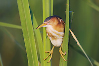 Least Bittern (Ixobrychus exilis), adult in cattails, Sinton, Corpus Christi, Coastal Bend, Texas, USA