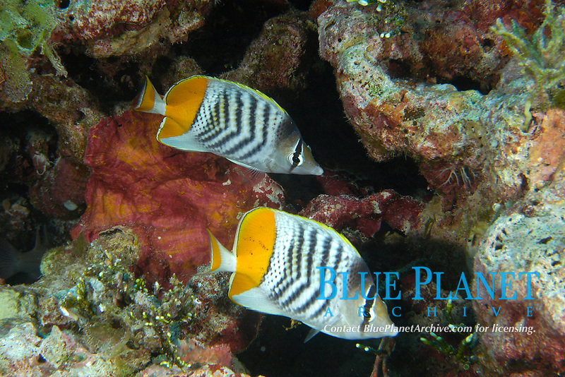 Pair of Yellowback Merten's butterflyfish, Chaetodon mertensii, Namu atoll, Marshall Islands, Micronesia, Pacific Ocean