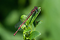 Large red damselfly (Pyrrhosoma nymphula), mid July.