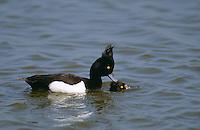 Reiherente, Paar, Pärchen bei der Paarung, Kopula, Reiher-Ente, Aythya fuligula, tufted duck