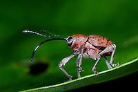 Adern-Eichelbohrer, Aderneichelbohrer, Rüsselkäfer, Curculio venosus, acorn weevil