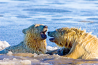 polar bear, Ursus maritimus, cub swims in the water, 1002 coastal plain of the Arctic National Wildlife Refuge, Alaska, polar bear, Ursus maritimus