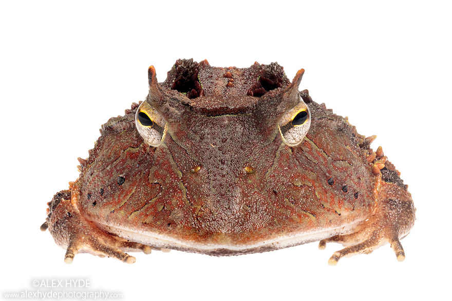 Amazonian Horned Frog (Ceratophrys cornuta) photographed on a white background in mobile field studio. Manu Biosphere Reserve, Amazonia, Peru. November.