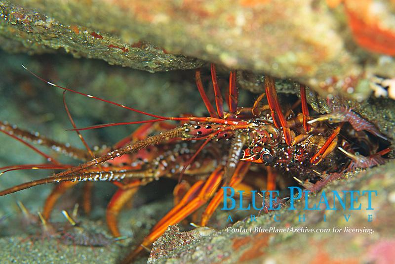 spiny lobster, Panulirus japonicus , Shikine-jima island, Tokyo, Japan, Pacific Ocean