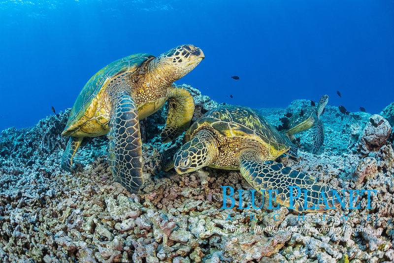 green sea turtle, Chelonia mydas, gathering at cleaning station, Maui, Hawaii, USA, Pacific Ocean