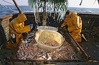 """Europe/France/Bretagne/29/Finistère/Le Guilvinec: Pêche à la langoustine sur le """"Gwenvidik"""" (AUTORISATION N°215-216-217)"""
