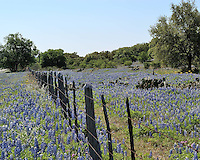 Bluebonnets and Old Fence, Highway 71 near Llano, Texas