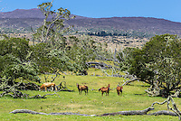 On a sunny morning, three horses and a bull graze at the foothills of Mauna Kea along Mana Road, Big Island.