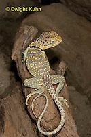 1R17-558z  Collared Lizard, Male, Crotaphytus collaris