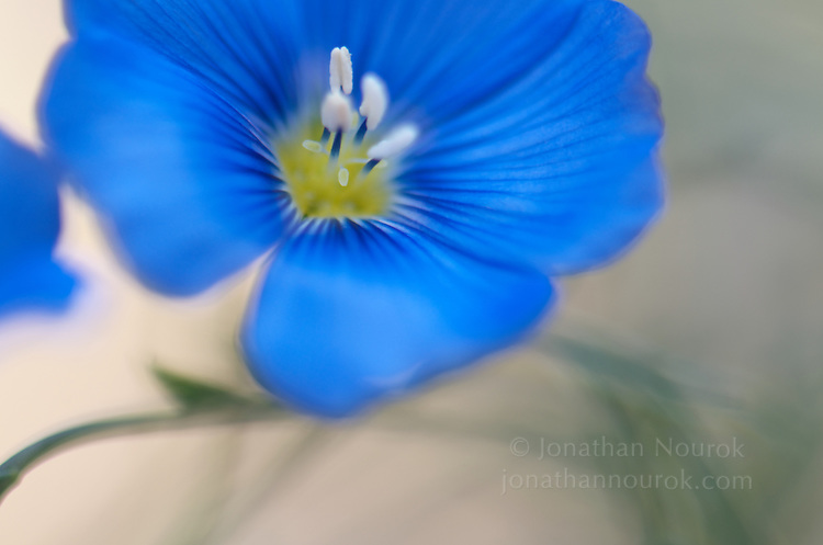 close-up of a blue flax flower