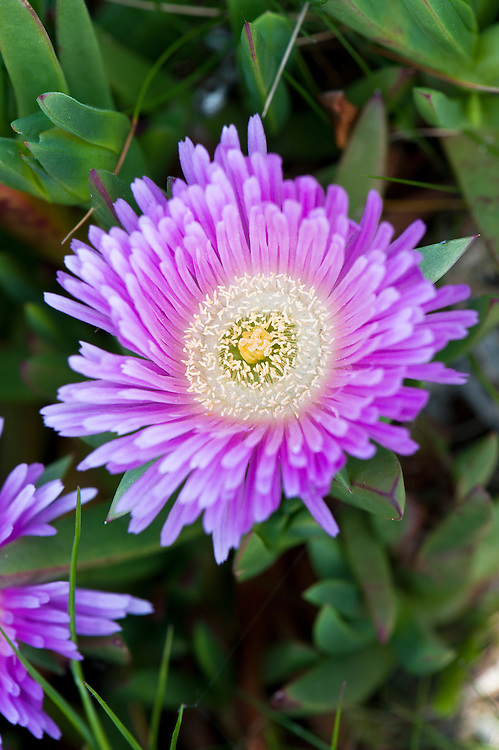 Hottentot fig (Carpobrotus edulis), late April. Also known as the ice plant, highway ice plant, pigface, or (in Cornwall) Sally-my-handsome, it originates from South Africa, and is considered an invasive plant in many coastal areas of the world.